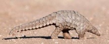 A Photo of A Pangolin